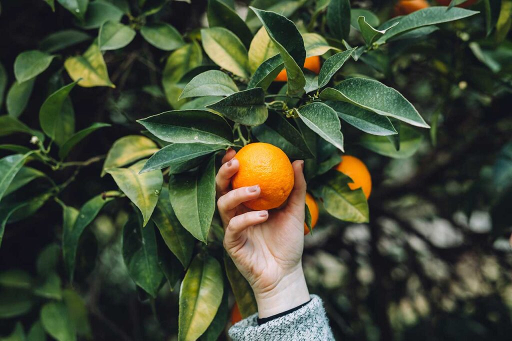 A hans is shown holding a tangerine from a tree